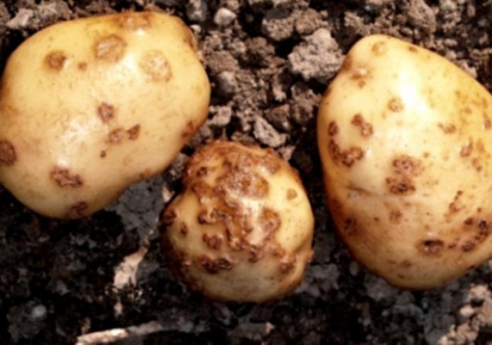 На Франківщині виявили рак картоплі