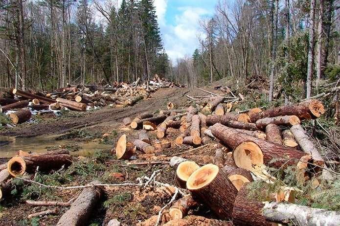 Прикарпатські праліси врятовано? Президент підписав закон, що відчутно збільшить покарання за незаконну вирубку лісу