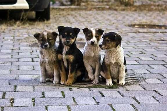 Безпритульних собак в Чернівцях близько восьми тисяч