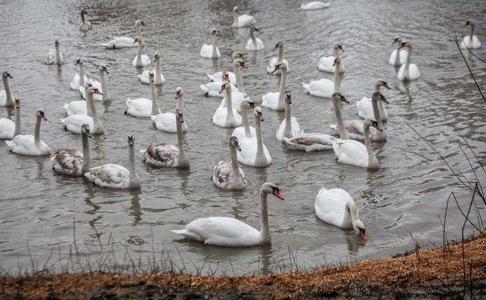 Причини загибелі лебедів на Пруті досі з'ясовують